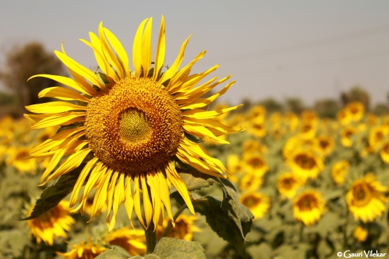 Sunflower fields enroute Gandikota