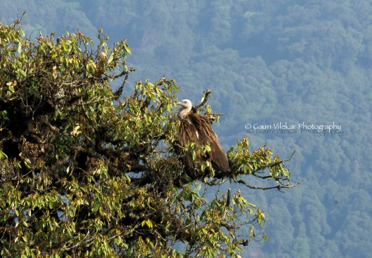 _MG_1720 Himalayan Griffon Vulture 1