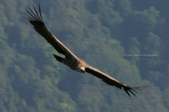 _MG_1737 Himalayan Griffon Vulture 3