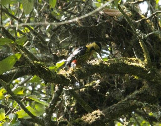 _MG_1843 Darjeeling woodpecker (f)