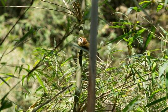 _MG_1849 Rufous winged fulvetta