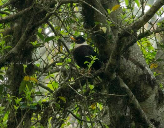 _MG_1882 White collared blackbird
