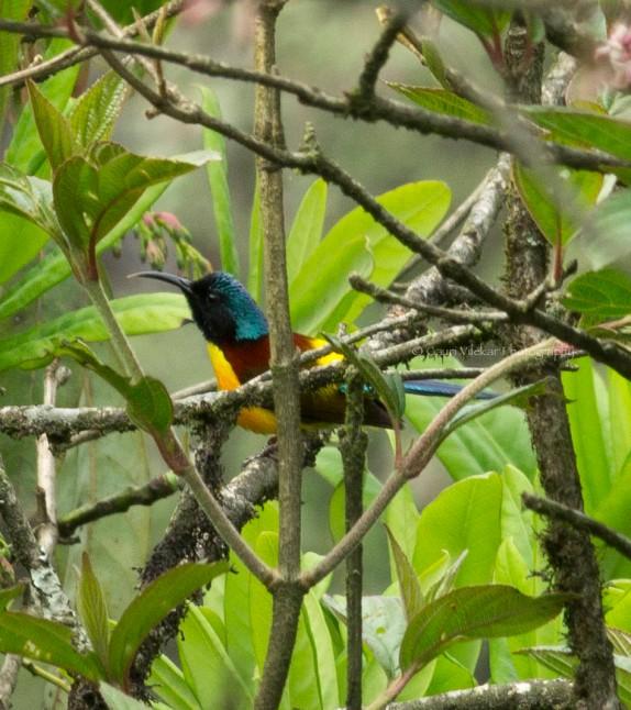 _MG_1898 Green tailed sunbird