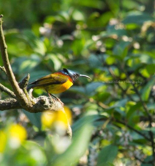 _MG_1928 Green tailed sunbird 2
