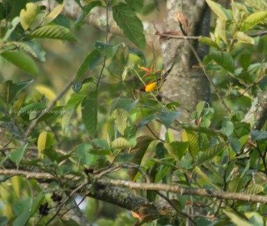 _MG_2132 Mrs Gould's sunbird
