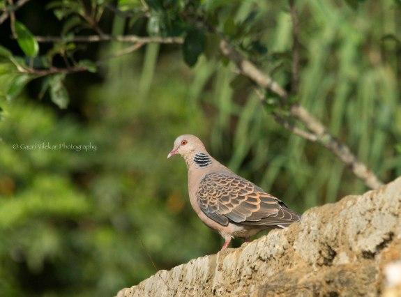 _MG_2162 Oriental turtle dove
