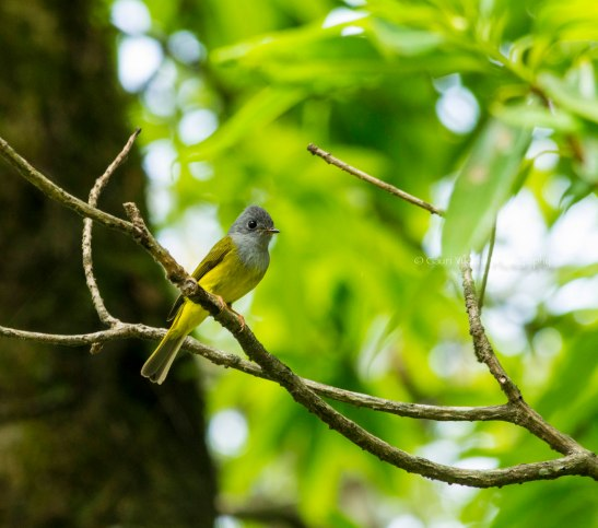 _MG_2336 Grey headed Canary flycatcher