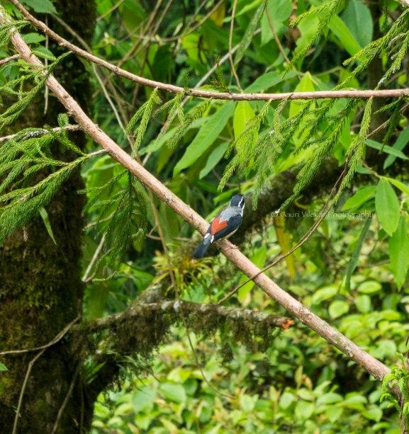 _MG_2346 Black Headed Shrike Babler