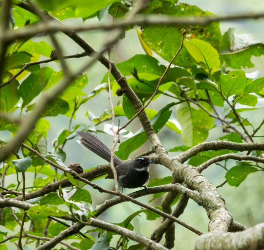 _MG_2362 White thorated fantail