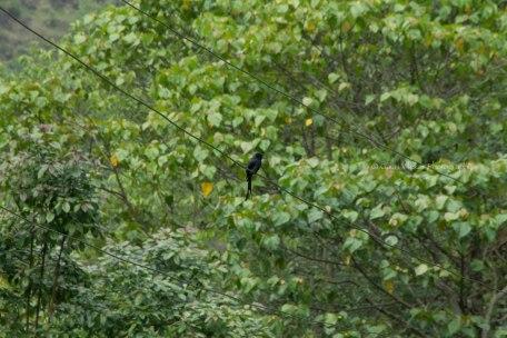_MG_2369 Black drongo