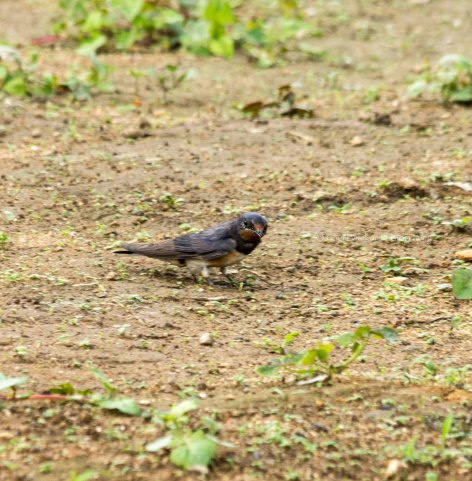 _MG_2422 Barn Swallow