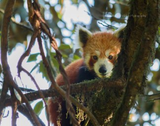 The adorable, endangered Red Panda