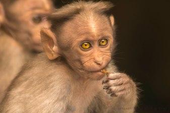 The junk fed monkeys at Monkey falls