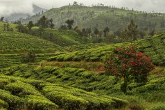 The rolling tea estates of Valparai