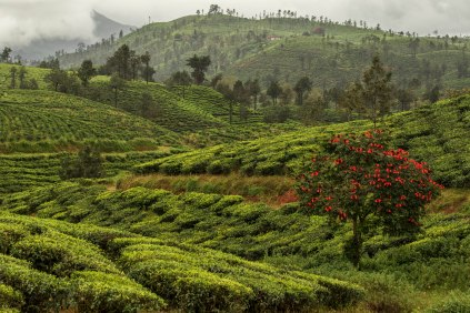 The rolling tea estates of Valparai