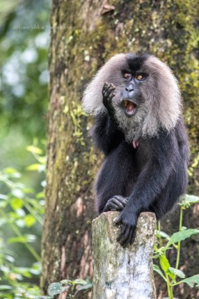 The endemic Lion Tailed Macaques of Valparai