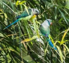 Malabar Parakeets