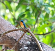tickells blue flycatcher rangana