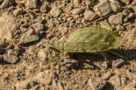 The leaf insect