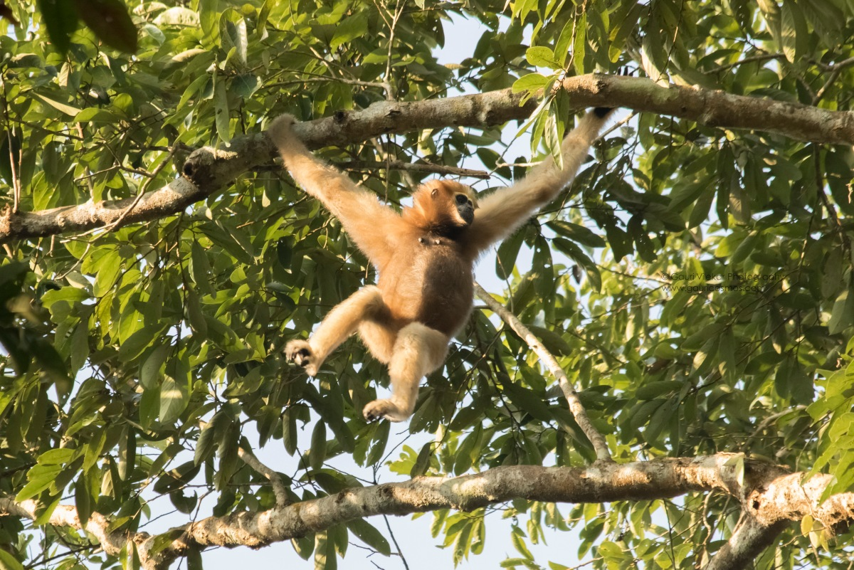 The Gibbons of Hollongpar