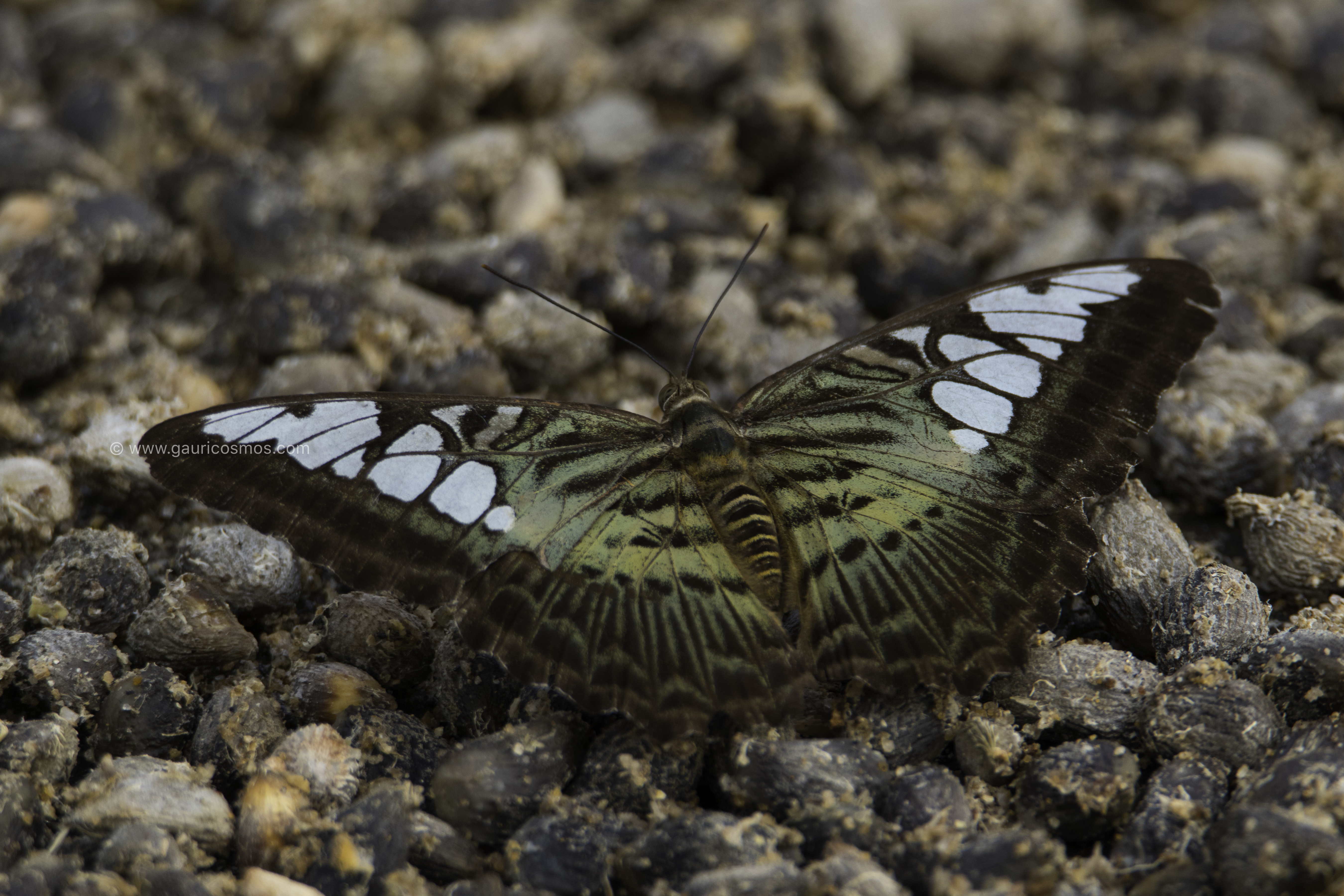 _B8A2269-1giant butterfly