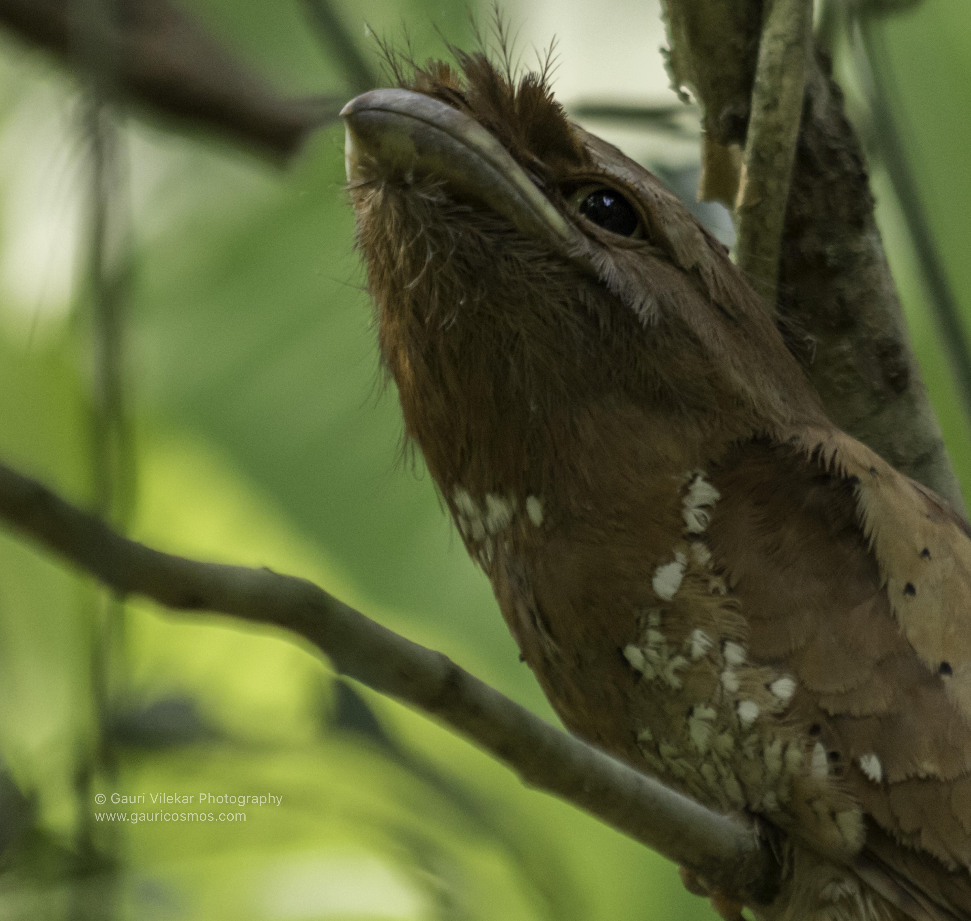 _B8A2371-1Srilanka frogmouth side close up_