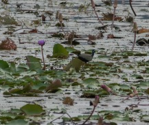 Bronze winged Jacana