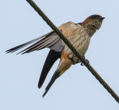 Red-Rumped Swallo