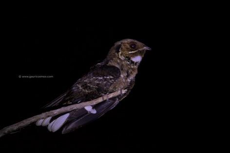 _B8A2613-1jerdons nightjar