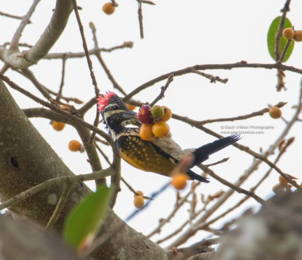 Greater Goldenback Woodpecker
