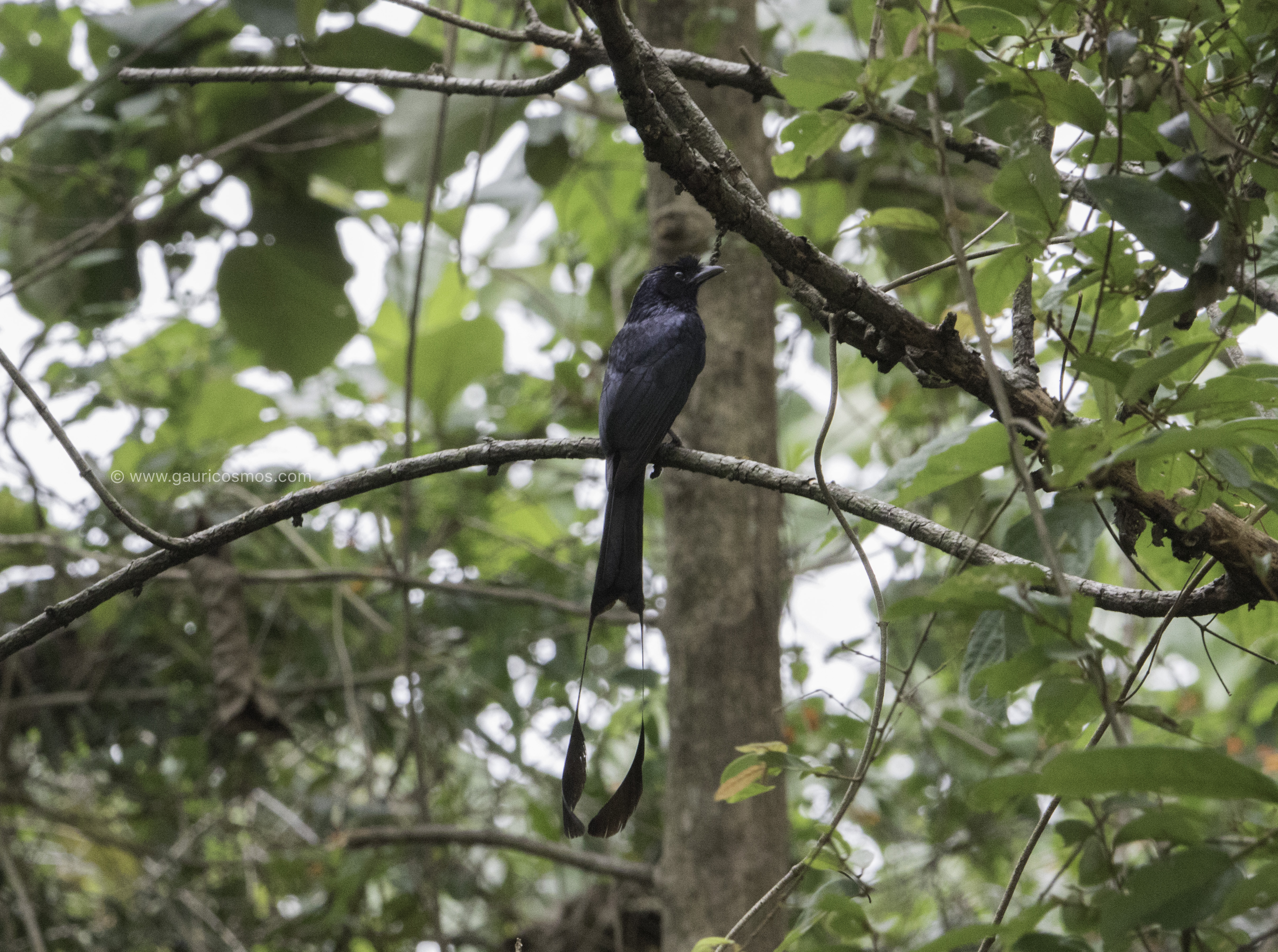 Greater racket tailed drongo