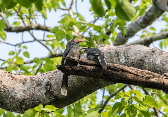 Hornbill Best