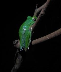 IMG_20180427_212828-1malabar gliding frog 1