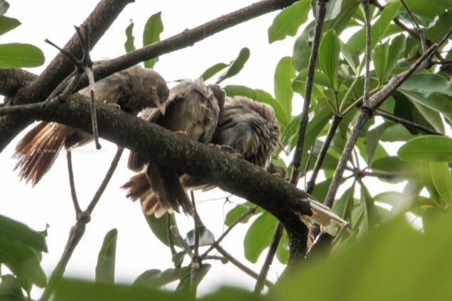 Jungle babblers
