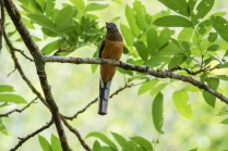 Malabar Trogon- Female
