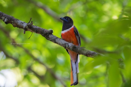 Malabar Trogon- Male
