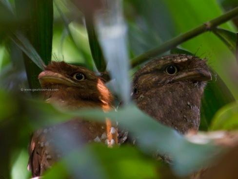 _MG_0054-2-1srilankan frogmouth pair