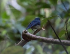 White bellied blue flycatcher