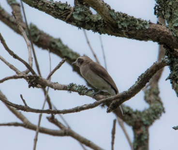 Common Wood Shrike