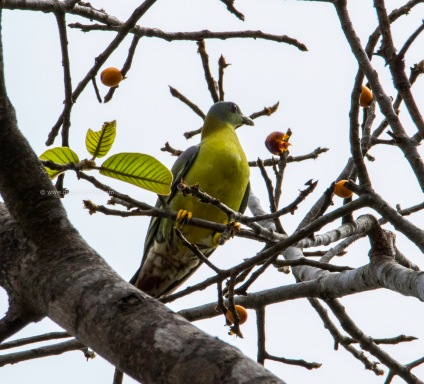Yellow footed green pigeon