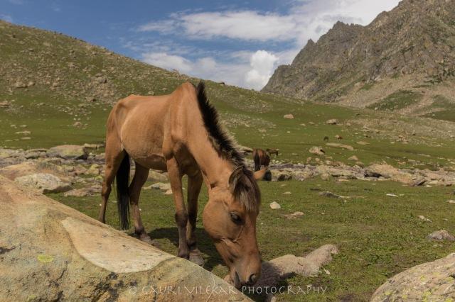 brown horse gadsar camp-4870