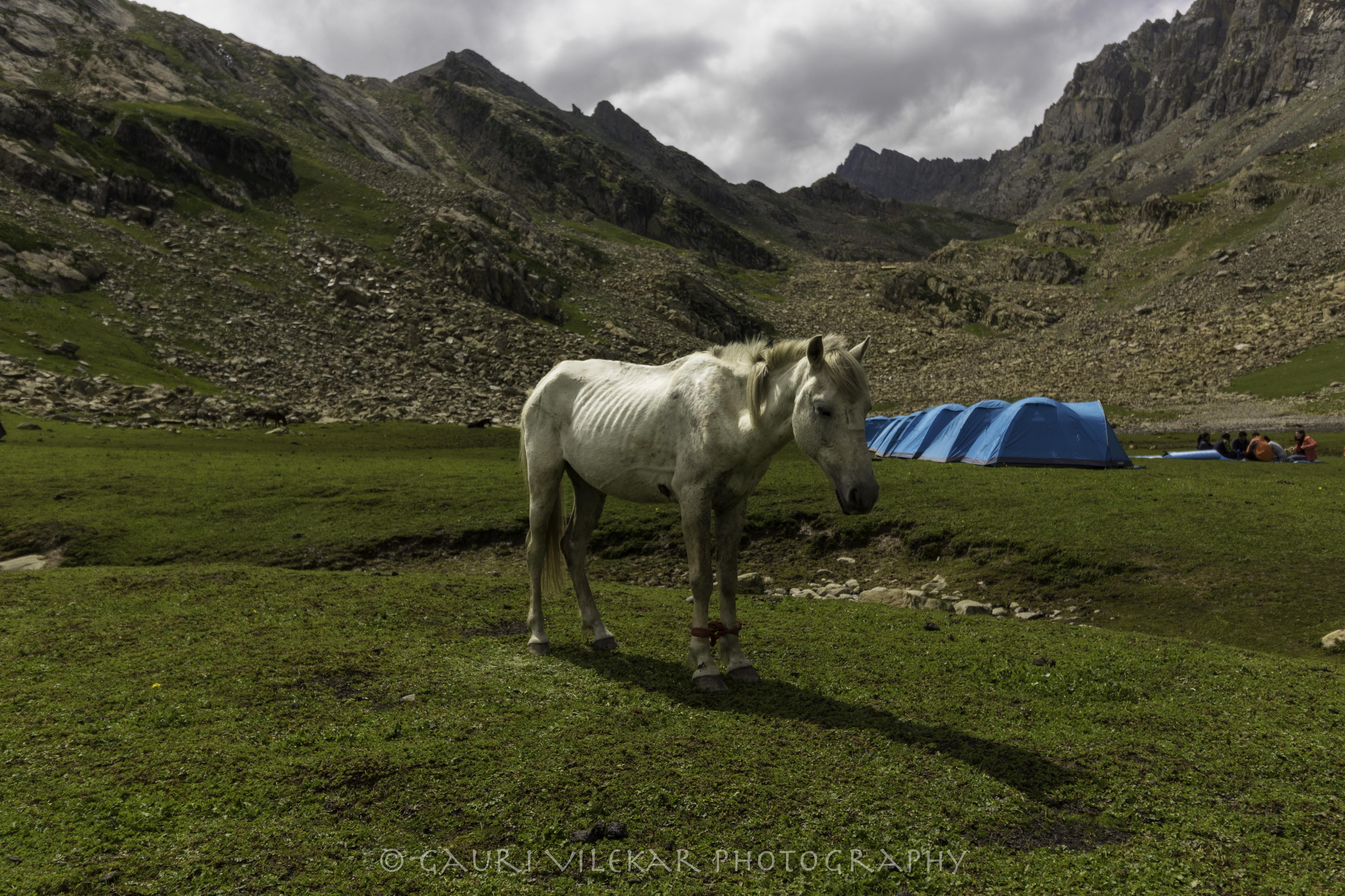 white horse 2-4866