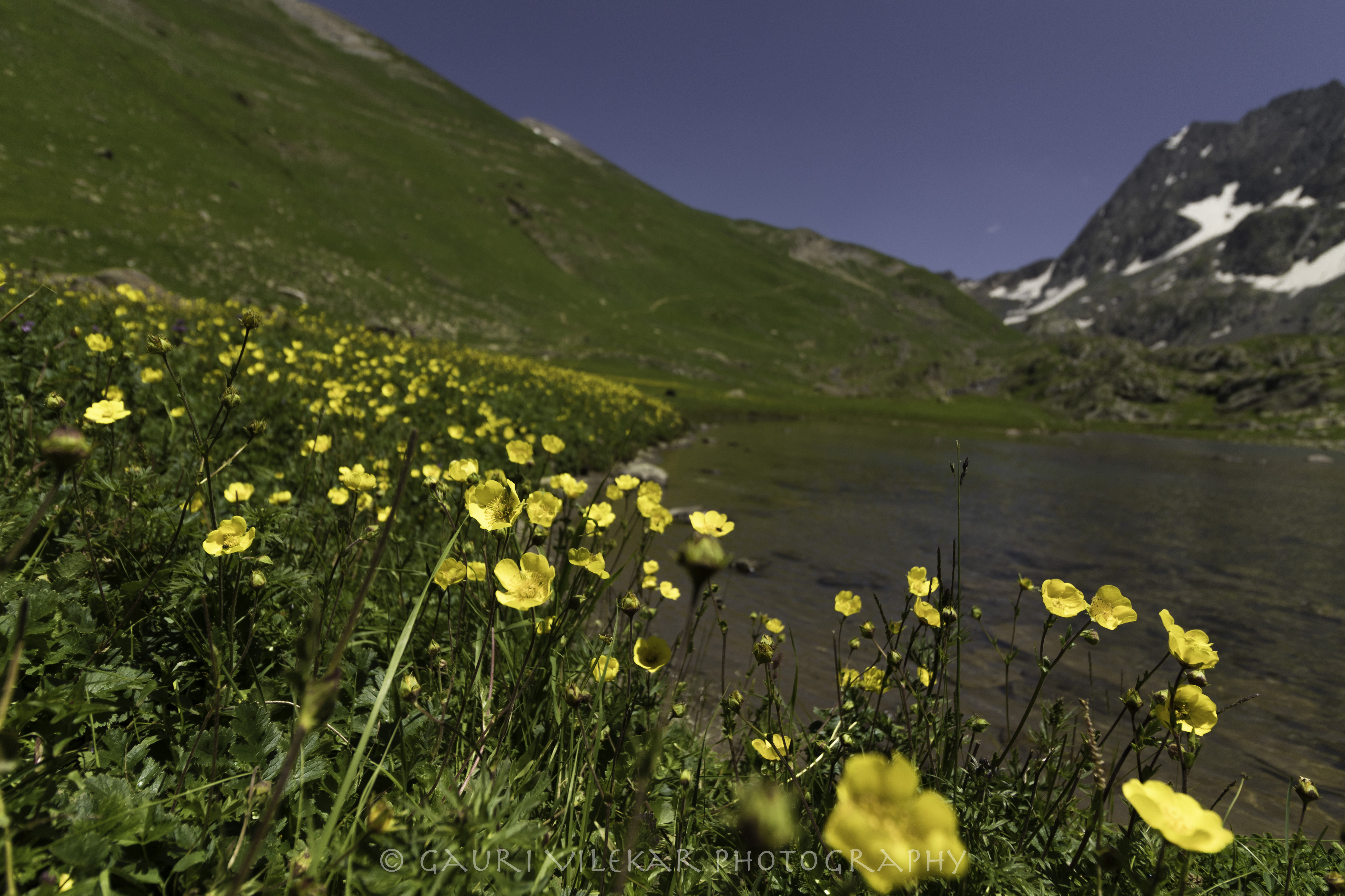 yellow flowers by the lake-4809